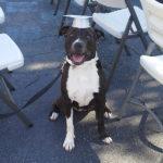 Photo of TREATS dog graduate, large black and white dog wearing gray graduation cap.