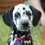 Photo of dalmation's face.