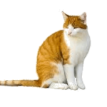 Photo of orange and white cat