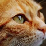 Close up photo of an orange cat's eye.