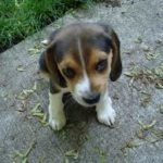 Photo of beagle puppy