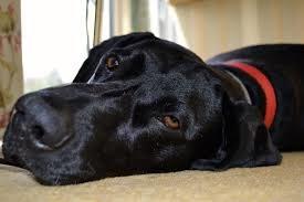 Photo of sad black dog's face.