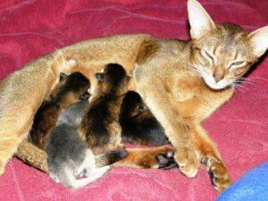 Photo of mom cat feeding kittens.