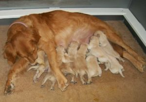 Mom dog feeding puppies