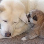 Puppy playing with mother dog.