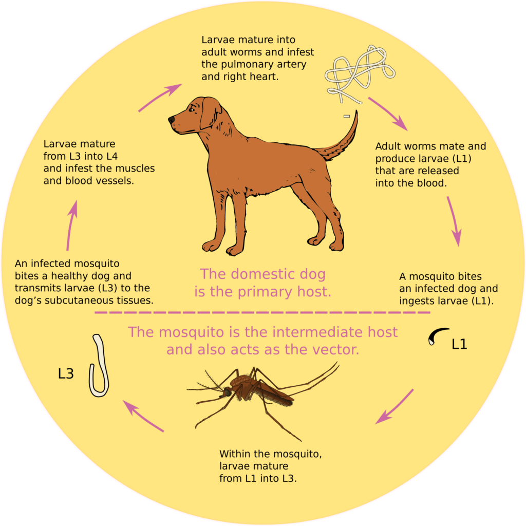 Grapic flow chart of dog heartworm cycle.