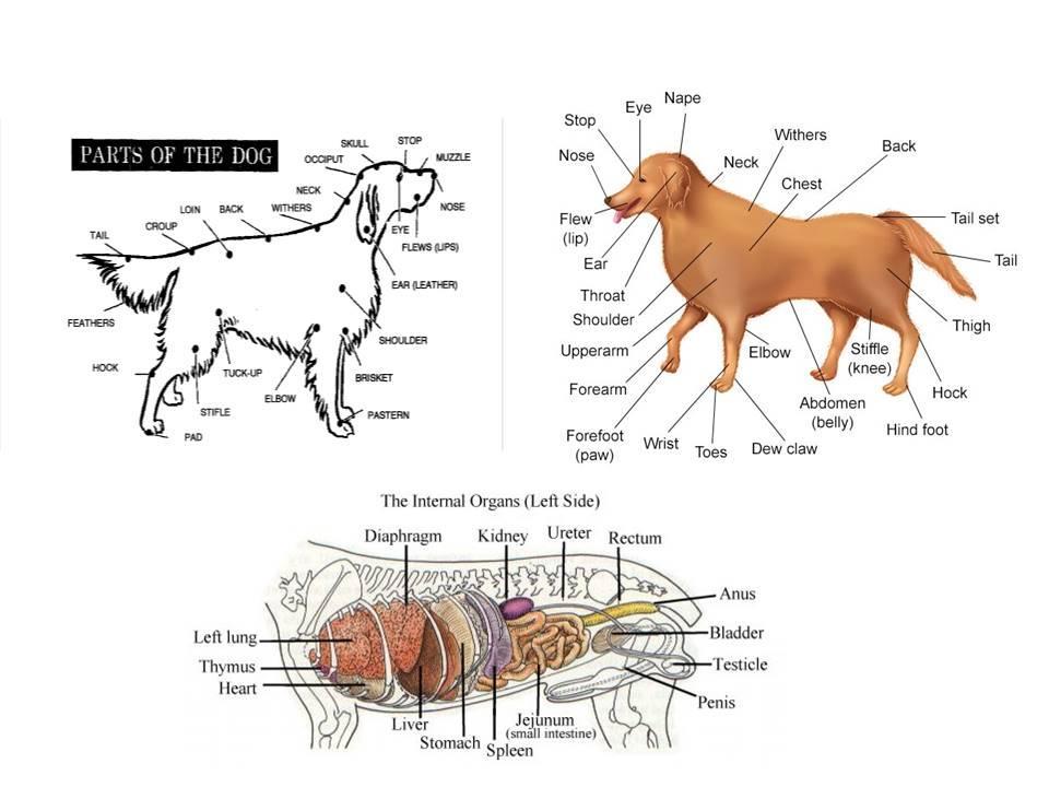 dog anatomy slide