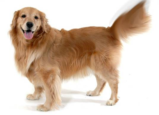 Large red dog wagging tail
