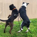 two dogs jump and crash into each other
