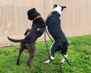 Two dogs jumping during play.