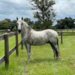 Sir Phillip the horse in his pasture at Mill Creek Farm in Alachua, Florida