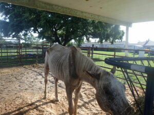 Thin horse feeding at the shelter.