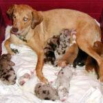 Catahoula dog with feeding puppies
